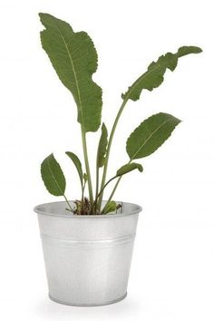 Horseradish Care In Pots: How To Grow Horseradish In A Container - If you have ever grown horseradish, then you are only too well aware that it can become quite invasive. The solution, of course, would be container grown horseradish. Look at this article to find out how to grow horseradish in a container.