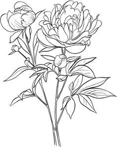 Paeonia Officinalis ou pivoine Coloriage