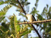 Nilgiri Flowerpecker, Kodaikanal