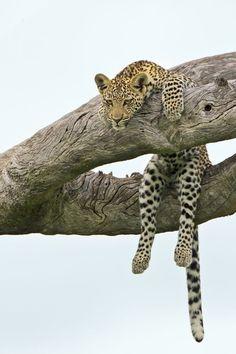 Leopard Sitting In A Tree