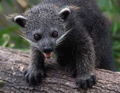 Binturong - Binturong The binturong, also known as the Asian bearcat, the Palawan bearcat, or simply the bearcat, is a species of the family Viverridae, which includes the civets and genets