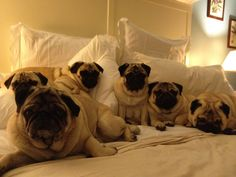 This is the pugs' bed now; you may sleep on the floor