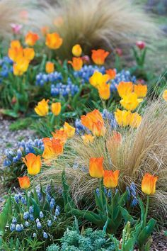 The gravel garden's spring display pairs Greigii tulip 'Eastern Surprise' with Muscari 'Valerie Finnis.'
