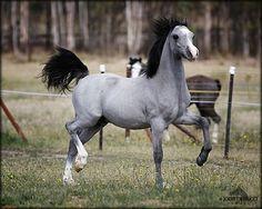 Roan Arabian Horses Beautiful horses, gorgeous