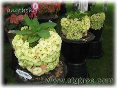 euphorbia - Google Search Euphorbia Plant, Euphorbia Milii, Crown Of Thorns, Pitaya, Hardy Plants, Agaves, Desert Plants, Unique Flowers, Shrubs