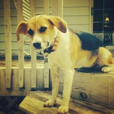Adopted! Maya is an #adoptable #beagle x @FPOPets on twitter/pinterest #Peoria. Good with dogs and kids! www.fosterpetoutreach.org Find us on FB!