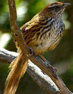 Новозеландская камышевка или Боудлерия (Megalurus punctatus)