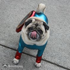 Funny Pug Dogs with Attitude: Captain Ameripug