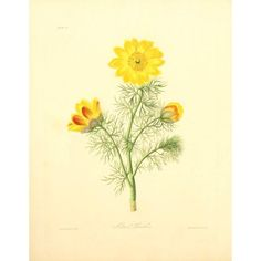 Floral Illustrations of the Seasons 1831 Adonis Vernalis Canvas Art - Margaret Roscoe (18 x 24)