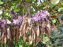 """⁖Cercis siliquastrum - first described by Linnaeus in 1753 who gave it the specific epithet of siliquastrum derived from the Latin word siliqua, meaning """"pod"""""""