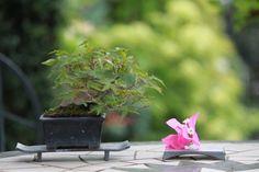 モミジのミニ盆栽 |超ミニ盆栽のブログ