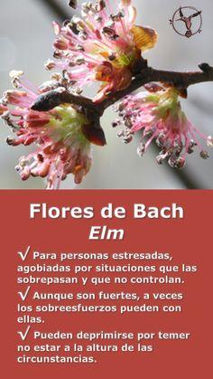 #flores #de #bach #para #la #ansiedad #los #nervios #depresion #elm #en #español #terapia #terapias #alternativas #remedios #frascos #infografia #ilustraciones #imagenes