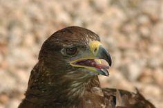 Bussard Bald Eagle, Bird, Animals, Buzzard, Animales, Animaux, Birds, Animal Memes, Animal