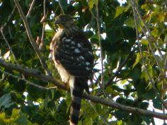 Female Northern Ghosthawk
