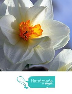 Daffodils / Closeup of Springtime Daffodils in Full Bloom / Floral, Nature / Fine Art Photography Print from PhotoClique http://www.amazon.com/dp/B01748QXWE/ref=hnd_sw_r_pi_dp_6kLlwb1V7YNSP #handmadeatamazon