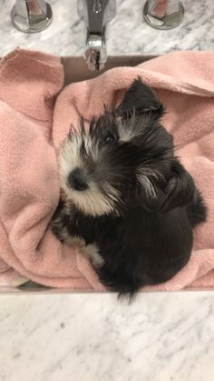 Ranked as one of the most popular dog breeds in the world, the Miniature Schnauzer is a cute little square faced furry coat. Toy Schnauzer, Miniature Schnauzer Puppies, Cute Puppies, Cute Dogs, Dogs And Puppies, Doggies, Cute Baby Animals, Animals And Pets, Dog Rules