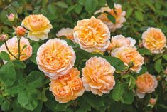 English Shrub Rose bred by David Austin, The Lady Gardener makes a beautiful gift for the motherly figure in your life this Mothering Sunday. Rare Flowers, Beautiful Flowers, David Austin Rosen, Mothering Sunday, Shrub Roses, Little Rose, Cabbage Roses, English Roses, Shrubs