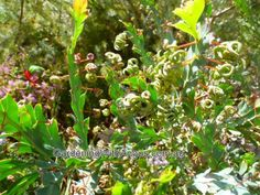 Acacia glaucoptera well drained, most soil types, sun/light shade Small Shrubs, Australian Plants, Types Of Soil, Light Shades, Acacia, Sun Light, Clay, Sunlight, Clays