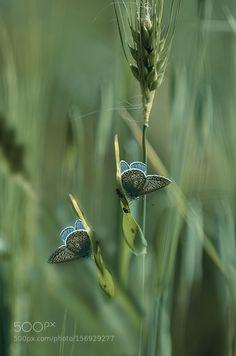 Lycaenidae by FilizBarkan1 #nature #photooftheday #amazing #picoftheday