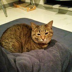 「おはにゃーん❗good morning❗  #ねこ #猫 #猫写真 #ネコ #しましま軍団 #きじねこ #きじとら #キジネコ #キジトラ #cat #catstagram #instacat #neko #tabby #kitty #meow #고양이」