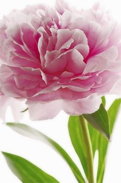 Peony Love www.wisteria-avenue.co.uk