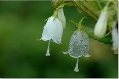 Commonly known as Umbrella Leaf or Skeleton Flower. Native to parts of Japan and China, in mid-spring this shade-loving plant begins to produce flowers with delicate white petals that gradually become transparent in the rain. Rare Flowers, Unique Flowers, Exotic Flowers, Amazing Flowers, White Roses, White Flowers, Skeleton Flower, Leaf Skeleton, Transparent Flowers