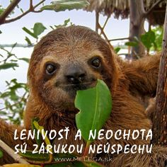 Ako tráviš #lockdown? Leňošíš alebo pracuješ naplno? 🤔 #citat #myslienka #lenivost #neochota #zaruka #neuspech #zivot #motivacia #inspiracia #ciel #melega #jaroslavmelega Baby Sloth, Cute Sloth, Sloth Bear, Nature Animals, Animals And Pets, Wild Animals, Beautiful Creatures, Animals Beautiful, Cute Baby Animals