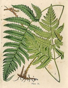 Natural History Clip Art - Beautiful Ferns - The Graphics Fairy