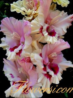 Gladiolus Cranberry in Sugar Exotic Flowers, Amazing Flowers, Pink Flowers, Beautiful Flowers, Gladiolus Flower, Day Lilies, Belleza Natural, Rose Buds, Daffodils