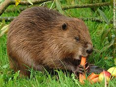 beaver on vancouver island - Google Search