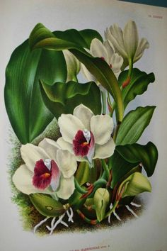 Lindenia Botanical Print Limited Edition Bifrenaria Harrisoniae Orchid Floral B2      $15.31