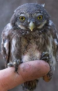 The Eurasian Pygmy Owl is the absolute smallest living owl species in Europe!