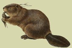 beaver Canadian Symbols, Beavers, Body Mods, Science And Nature, Pet Birds, Animals, Image, Body Modifications, Animaux