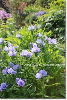 エキウム・ブルーベッダー   Echium Blue Bedder