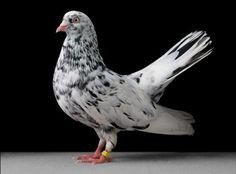 Identify this kind of pigeon, please. Pet Pigeon, Pigeon Loft, Pigeon Bird, Dove Pigeon, Colorful Animals, Colorful Birds, Exotic Birds, Love Birds, Beautiful Birds