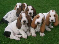 BASSET HOUNDS! Um that's a 6 pack of cute