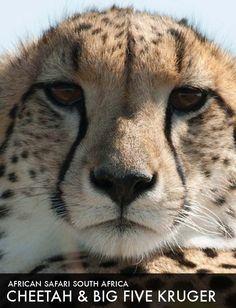 African safari tour Cheetah & Big Five Kruger Safari Holidays, Safari Adventure, African Safari, Cheetah, Parks, Tours, Big, Animals, Animales