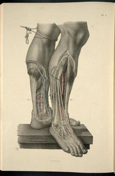 Dissection of the lower leg and foot from 'Surgical Anatomy'  (https://pinterest.com/pin/287386019946919600/) by Joseph Maclise, 1856 (https://pinterest.com/pin/287386019946929671).