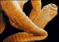 Reino animal, filo platelminto, género tenia