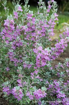 "Known as ""Barometer bush"", Texas sage, or cenizo, Leucophyllum frutescens is picking up on a slight uptick in Austin's humidity this week. They're in bloom all over Austin. My little dwarf variety is in full bloom for the first time."