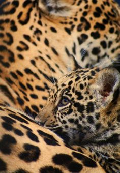 Leopard mother and cub