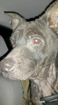 Manchester - Black Labrador Retriever