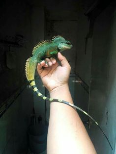 More Than 44 Chinese Dragon Water dragón chino agua chinesischer drache wasser dragon water cinese Animals And Pets, Baby Animals, Funny Animals, Cute Animals, Reptiles Et Amphibiens, Cute Reptiles, Beautiful Creatures, Animals Beautiful, Chinese Water Dragon