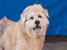 Baldwin Park, California - Westie, West Highland White Terrier. Meet BUTCH, a for adoption. https://www.adoptapet.com/pet/19880131-baldwin-park-california-westie-west-highland-white-terrier
