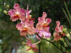 Vanda Prchids   Vanda orchids » Vicky Dagan » Filipino Contact