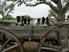 Border Collie wagon full