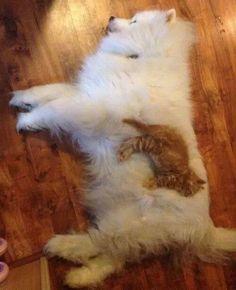 Un Chaton roux endormi sur le flanc d'un Samoyède tout blanc .... le museau dans sa fourrure