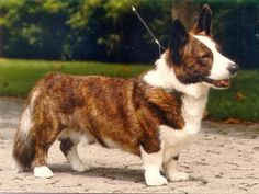 Cardigan Welsh Corgi Puppies, Pembroke Welsh Corgi, Corgi Husky, Corgi Mix, The Cardigans, Corgi Pictures, Emotional Support Animal, Best Dog Breeds, Dogs And Puppies