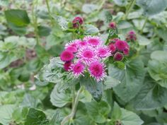 #Ageratum #RedSea ; Flowers are available at www.barendsen.nl