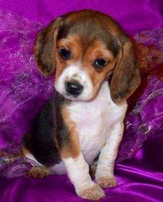 Registered Beagle Puppies AKC and UKC Registered !